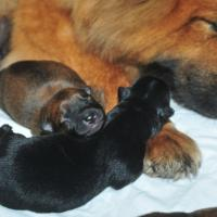 Album44 Die Babys in den ersten 3 Tagen. The first days of the puppies. Les premiers trois jours des chiots.